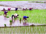 Rangpur region to produce 16.39-lakh tonnes Aman rice
